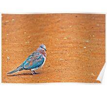 a coloured dove Poster