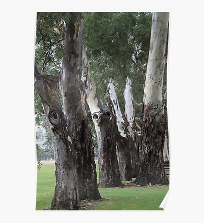 Eucalypt stand, east parklands, Adelaide, South Australia Poster