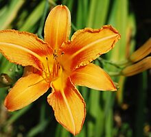 Single Orange Lily by jojobob