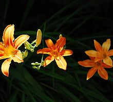 Wild Orange Lilies in Partial Shade by jojobob