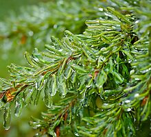 Ice on Pine Tree by Crystal Wightman