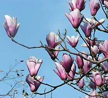 Magnolia Blossoms by LCooper
