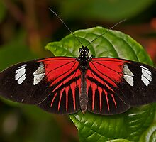 Postman Butterfly by JMChown