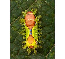 slug caterpillar moth Photographic Print