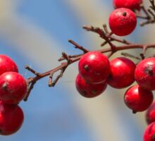 red berries Sticker