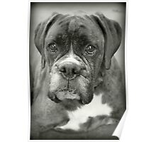 Is That For Me?.... Boxer Dogs Series  Poster