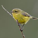 Yellow Thornbill taken at Cattai Wetlands by Alwyn Simple