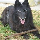 Belgian Shepherd Groenendael - a golden oldie by Belgian Shepherd Dog Club of QLD Inc