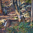 Young Buck by Imagery