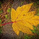YELLOW MAPLE LEAF by RGHunt