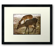 Fearless Florida Deer Framed Print