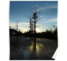 Backlit Cypress Poster