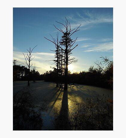Backlit Cypress Photographic Print