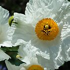 White poppies by Dennis Reagan