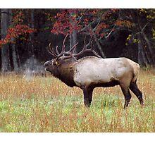 bugling bull elk Photographic Print