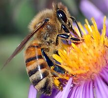 Honey Bee On Purple Flower by taiche