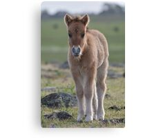 Dun Shetland Pony Foal Canvas Print