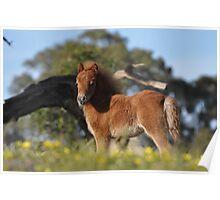 Chestnut Shetland Foal on a hilltop Poster
