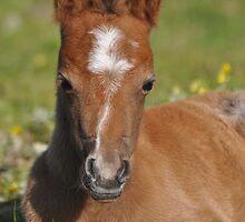 Welsh Mountain Foal  by fenwickstud
