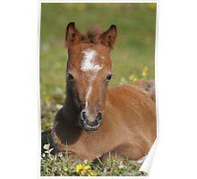 Welsh Mountain Foal  Poster