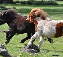Shetland Ponies Chasing by fenwickstud