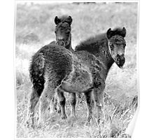 Two Black Shetlands in Black and White Poster