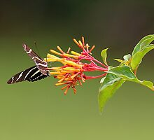Zebra Longwing.... by Larry Baker