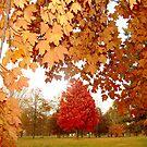 Autumn Maple by Alberto  DeJesus