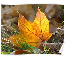 Autumn Maple Poster