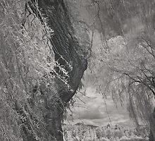 weeping willows by jackson photografix