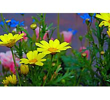 Yellow Daisy and Friends Photographic Print