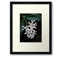 Star Jasmine 2013 Framed Print