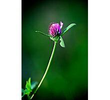 Clover Photographic Print