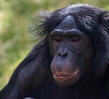 Bonobo by ensell