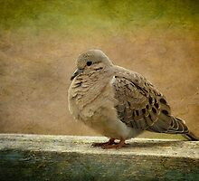 Mourning Dove by CindiR