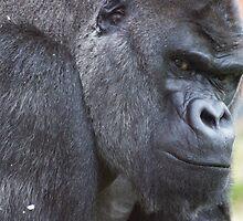 Western Lowland Gorilla by ensell