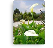 Three Cream Calla Lilies With Garden Background Canvas Print