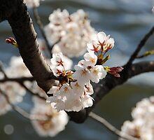 Tidal Basin Cherry Blossoms by Kieta Mall Skoglund
