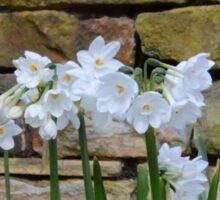 White Daffodils Sticker