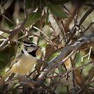 Bridled Titmouse by Kimberly Chadwick