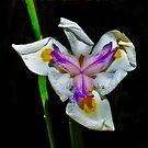 Iris by Tom Newman
