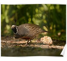 Father Following Quail Poster