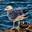 Young Herring Gull by Susie Peek