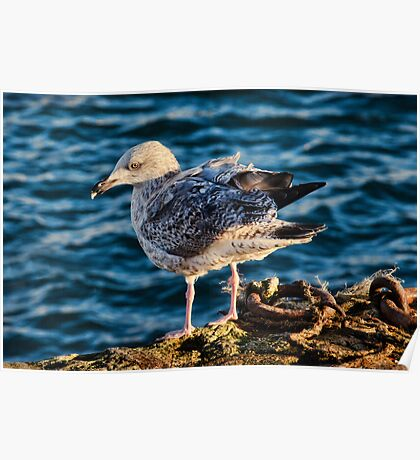 Young Herring Gull Poster