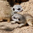 Which Way Now - Baby Meerkats by Margaret Saheed