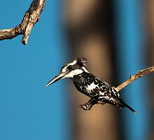 Pied Kingfisher by Andrew Lawrence