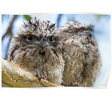 Sibling Frogmouth Poster