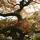 Acer Dissectum Tree At kew Gardens London by edesigns14
