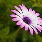 purple daisy by Martin Pot