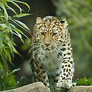 Jaguar by laurav